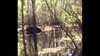 Compelling Footage of Skunkape/Bigfoot From Lettuce Lake Park Florida Breakdown