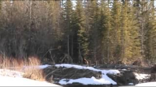 Bigfoot Sasquatch New Sighting  Calghary AB Canada Breakdown