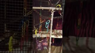 Sugar Glider Cage Set up, Homemade cage, toys & more!!