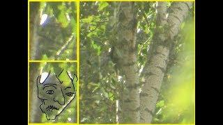 Tree Drones: Something To Consider About The Bigfoot Entities~ Are They Creation Spirits