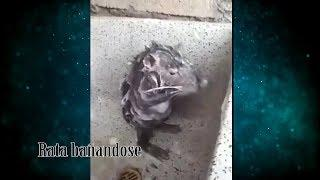 Rata bañandose explicación del video