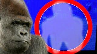 Ghost Of HARAMBE Gorilla Caught On Camera At ZOO In Real Life- Harambe captado por la cámara en el