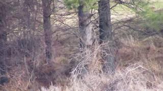 Bigfoot Outing & Something Strange Up There (SASQUATCH?): Blue Mountains