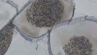 Vídeomuestra manadas de renos moviéndose en extraños patrones circulares en Rusia