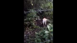 Increíble vídeo real del chupacabras en colombia