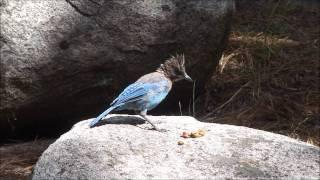 "Camp Kit Carson Part 9 ""Dog Food Stealing Stellar Jay"""