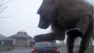 The Real King Kong Part 2