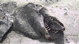 'Monster' Carcass Washes Ashore in New Zealand (2013)