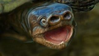 76 million year old extinct species of pig snouted turtle unearthed in Utah