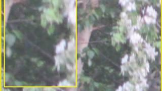 Best Bigfoot Photo Of The Year 2017 Sitting In Cottonwood Tree