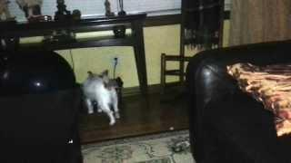 Cute little Jack Russell seen a orb and then EVP
