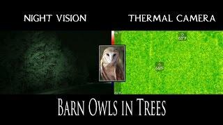 BARN OWLS IN TREES