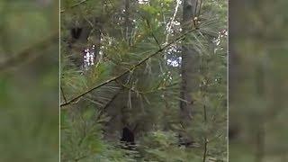 Increíble vídeo muestra un Bigfoot con sus crías en un bosque de Míchigan