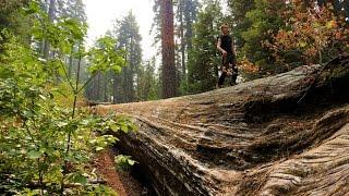 "Placer Big Trees Grove - ""Surreal Giants Of Our Past"""