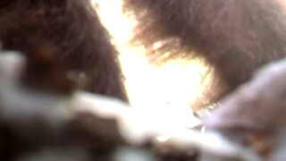 La policía federal graba a un Bigfoot en un bosque en California
