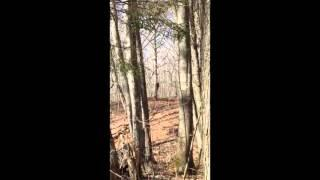 Bigfoot sighting  CLEAR VIDEO! Bigfoot behind a tree Breakdown