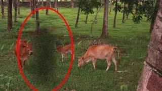 OMG | Weird Ghost like Shadow Following A Cow Caught On Camera | Scary Videos | Real Ghost Videos