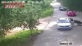 Greatest Tiger Attacks Ever Caught On Camera