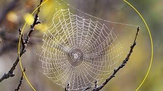 Spider webs act like CRIME SCENES Silk contains traces of the arachnids DNA and even reveals what it