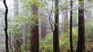 "Purissima California - Part 3 ""Journeying Through The Redwood Grove"""