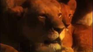 Life regarding Lions Looking Preventing, Mating Ideal Dynamics Wild animals Paranormal Documentary