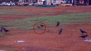 Unbelievable Ghost Sighting | Ghost Attacks Crow, Crow chased and attacked by ghost | Scary Videos