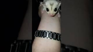 MERRY CHRISTMAS from Schnee our new baby Mosaic Sugar Glider