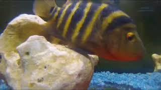 Midas Cichlids Laying Eggs Day 2