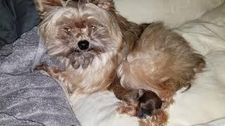 Just a happy puppy video Bookai's puppy