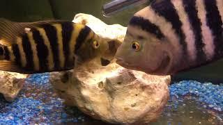 Midas Cichlids Breeding Tank- Eggs Hatching Day 5
