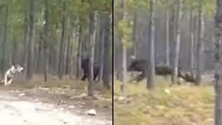 Is This Footage Of The Biggest Wolf Ever? Or Is It Something Else?