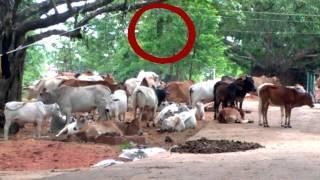 REAL GHOST VIDEO - Scary ghost spooked cow caught on tape Scary Videos