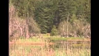 Never before seen Bigfoot footage... can anyone identify this sighting? Breakdown