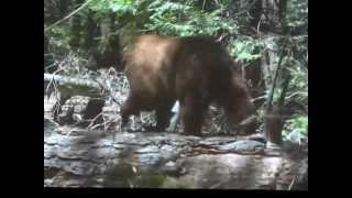 "Yosemite - Part 6 ""Monster Bear Caught On Cam"""