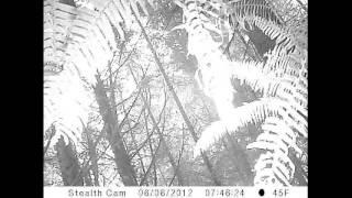 Wildlife camera attached!  Angry Sasquatch?