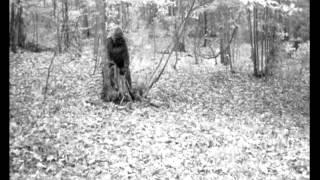 Clear Image Bigfoot Captured on Game Camera at Greenbrier Sporting Club Breakdown