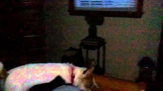 Dog sees orbs ghost angel?