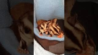 CUTEST SUGAR GLIDERS EVER... eating their Yoggie drops...one is a lil' piggie....and snack snatcher