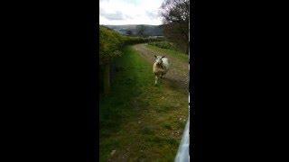 SAVING A STUPID SHEEP IN WALES!!