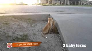 3 Baby Foxes in the City
