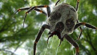 Creepy Sightings Of Giant Spiders