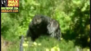 Humboldt County Bigfoot Picture Analyzed (2013 Picture)