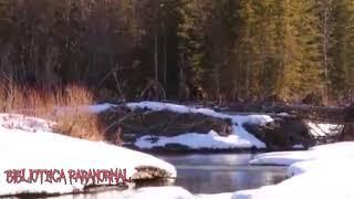 Impactante video de un pie grande en un bosque de canada