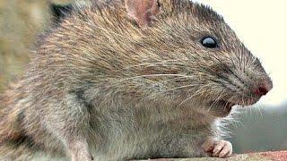 Super Rats Part 1