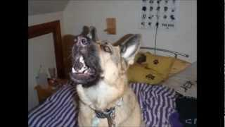 The German Shepherd Song With Rina